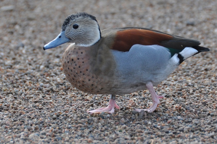 Castle Espie duck ringed teal - Version 3