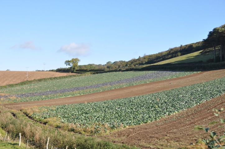 Killynether cabbage fields