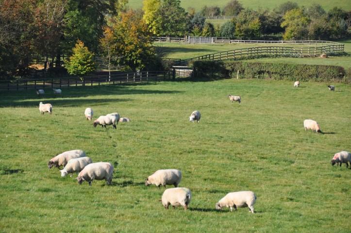 Ballyalton sheep