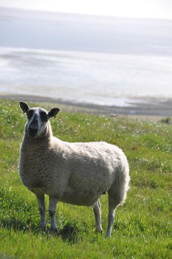 Scrabo sheep