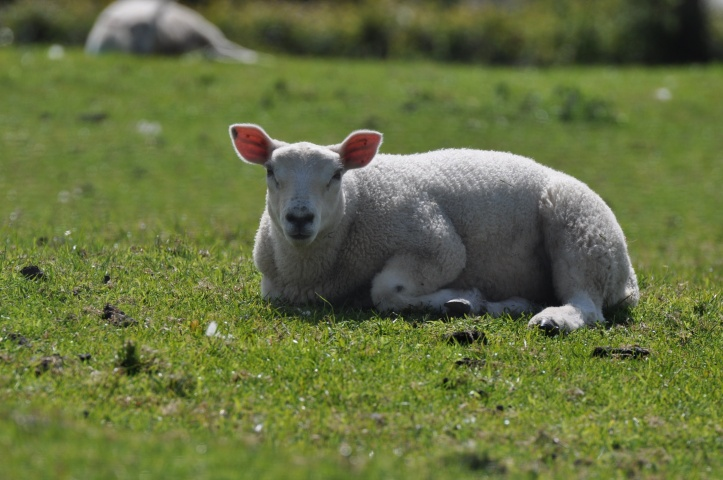 Ballycullen lamb