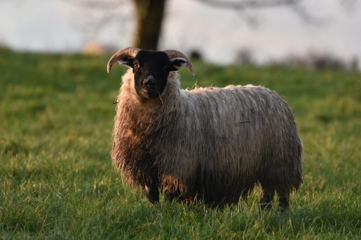 Dunlady sheep