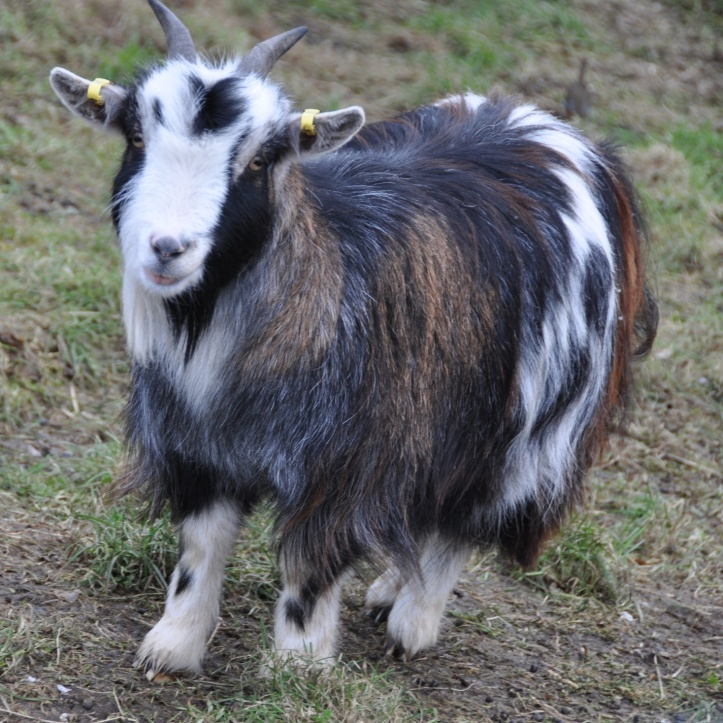 pygmy goat 1