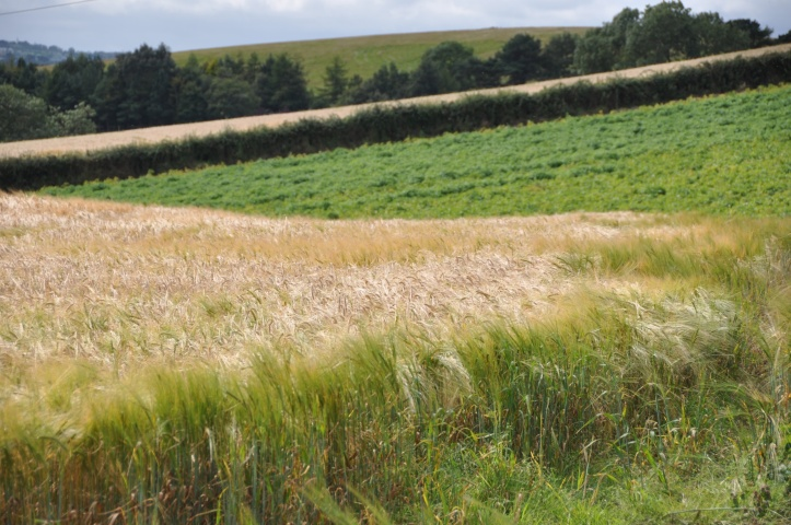 Ballyrogan barley and green field