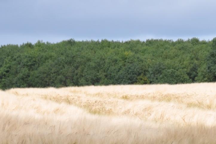 Ballyrogan barley and trees