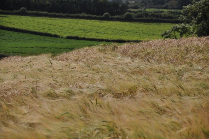 Ballyrogan barley