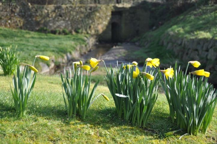 Gransha river daffodils
