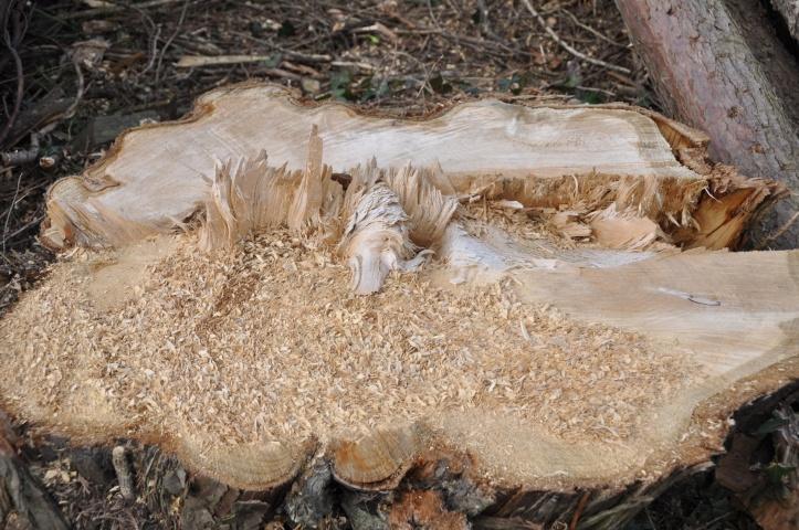 Craigantlet tree stump