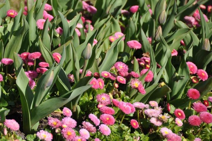 Grahamsbridge Road tulips
