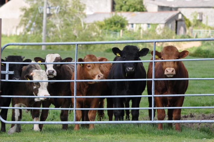 Greengraves cattle at gate