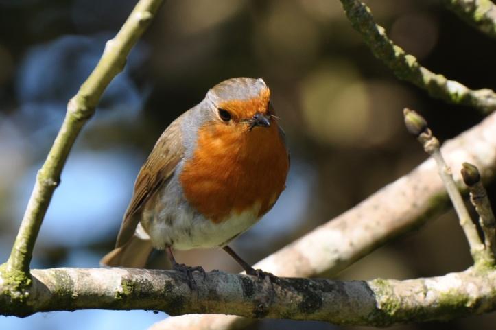 Kiltonga robin feeding