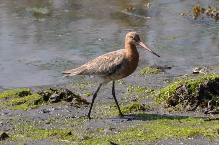 01 Black-tailed Godwit
