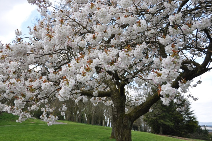 Gortgrib cherry blossom