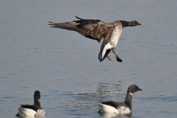 Light-bellied Brent geese in Belfast Lough