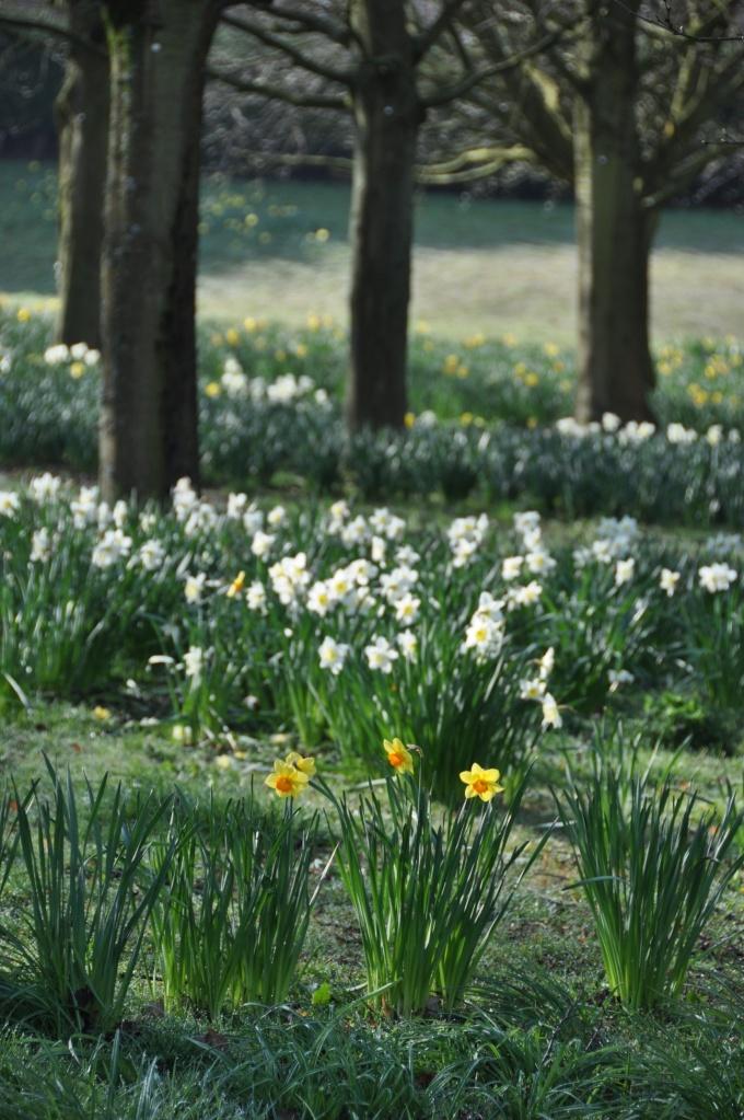 Tullycarnet Park daffodils