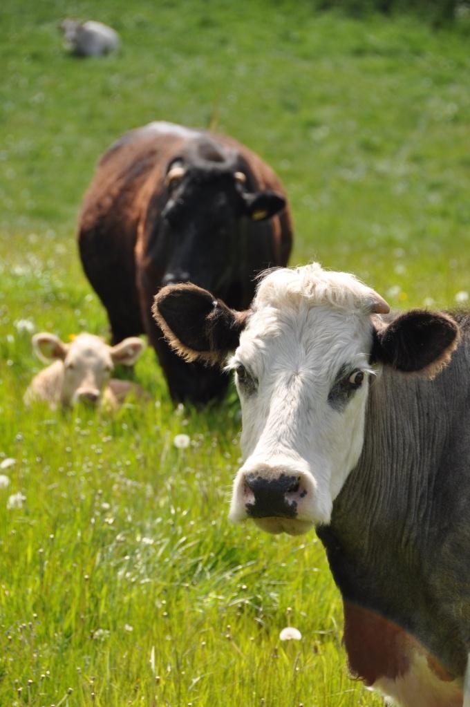 Ballygeegan cows