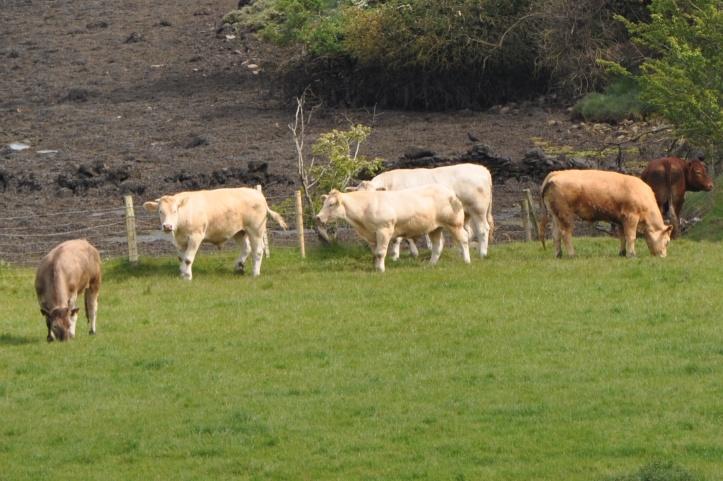 Ballymacarron cows 2