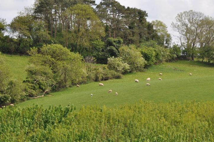 Ballymacarron sheep