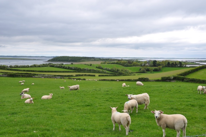 Ballymorran sheep