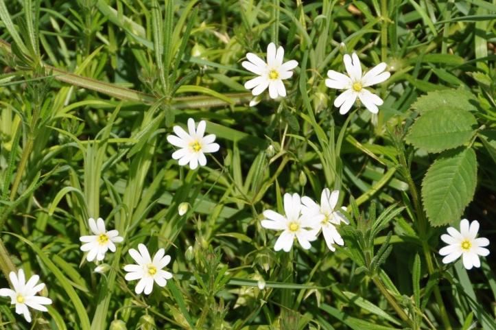 Tullycore stitchwort flowers
