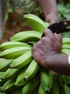 cutting bananas (1)