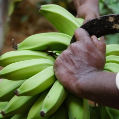 cutting bananas (1)