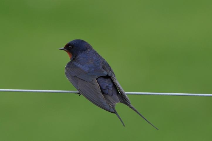 Delamont barn swallow