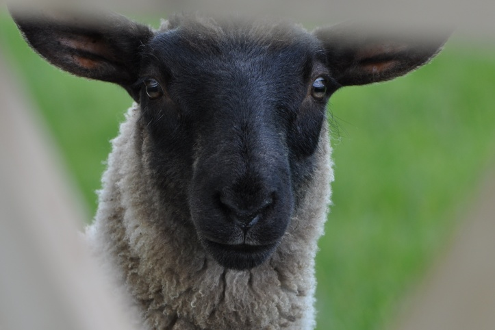 Delamont black-faced sheep