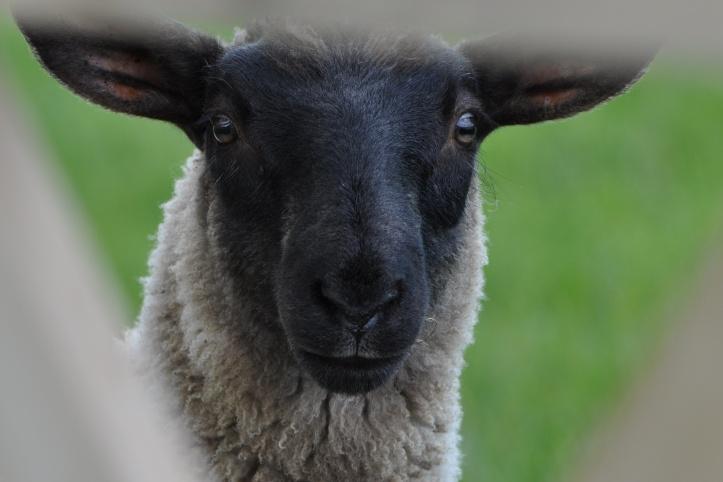 Delamont black-faced sheep