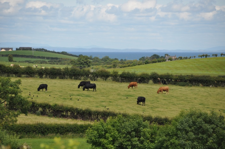 Ballyfrenis cattle