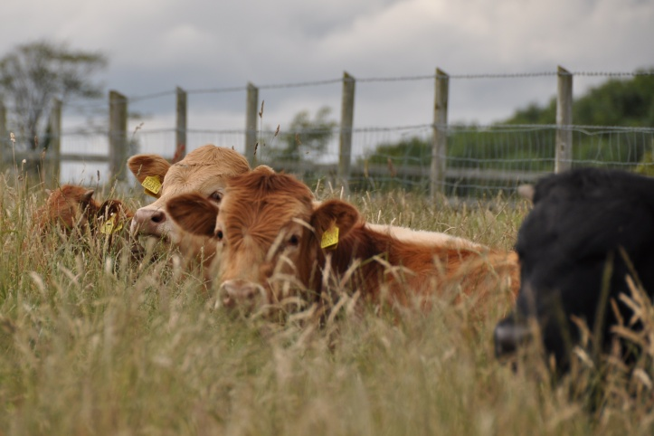 Killyleagh cattle