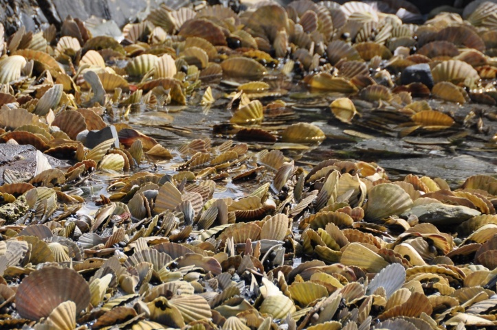 Portavogie scallop shells 2