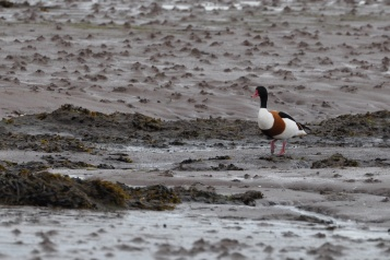 Ringcreevy goose on mud