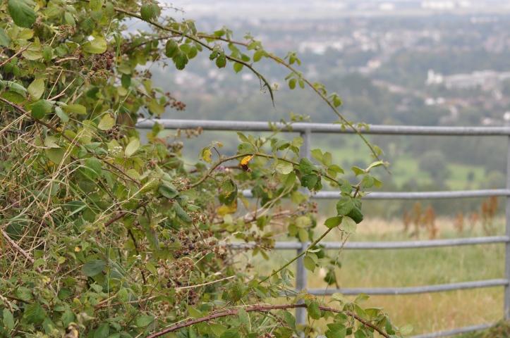 Blackberries in Braniel