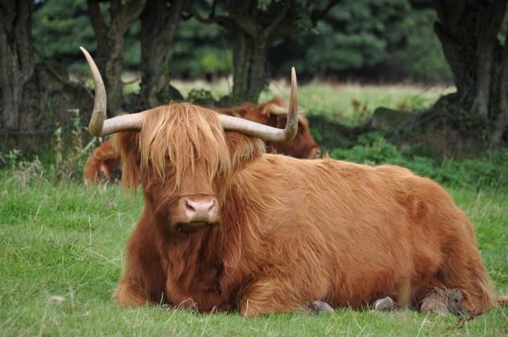 Whitespots Ark Farm cattle