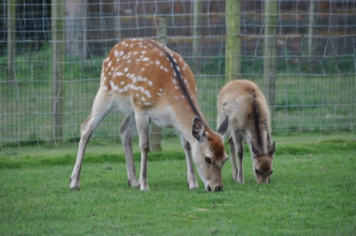 Whitespots Ark Farm deer