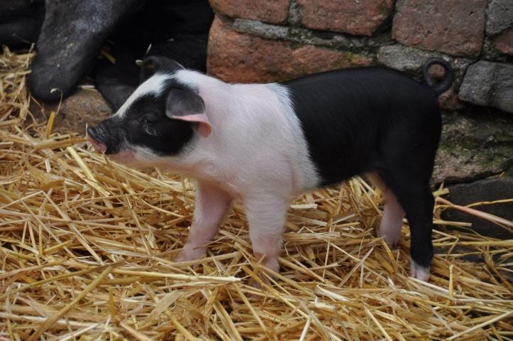 Whitespots Ark Farm piglet