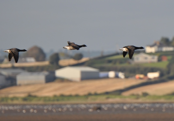 Geese flying at Ballyreagh - crop
