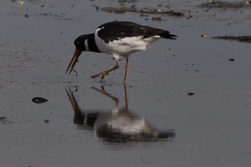Oystercatcher and worm