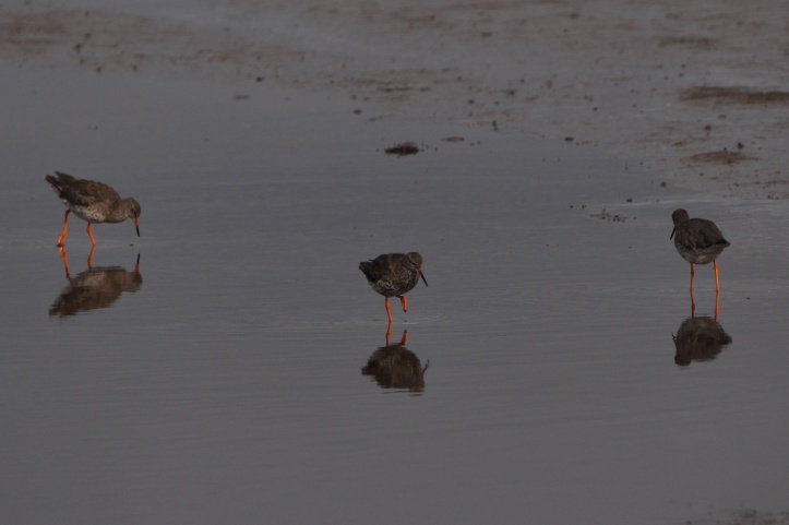Redshanks x 3