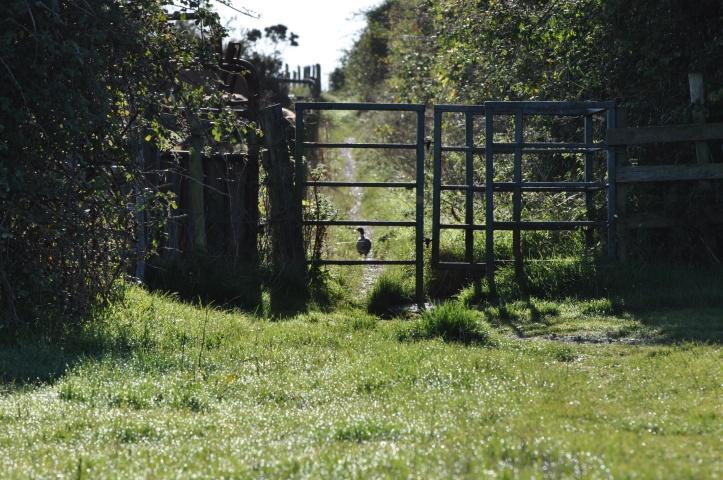 Sketrick pheasant