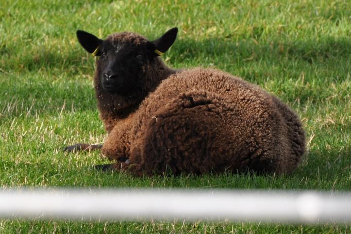 Ballynichol sheep through gate