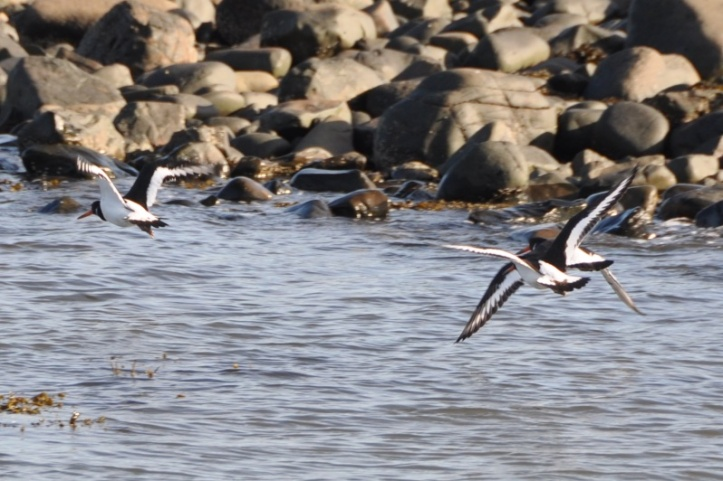 Miller Hill oystercatchers