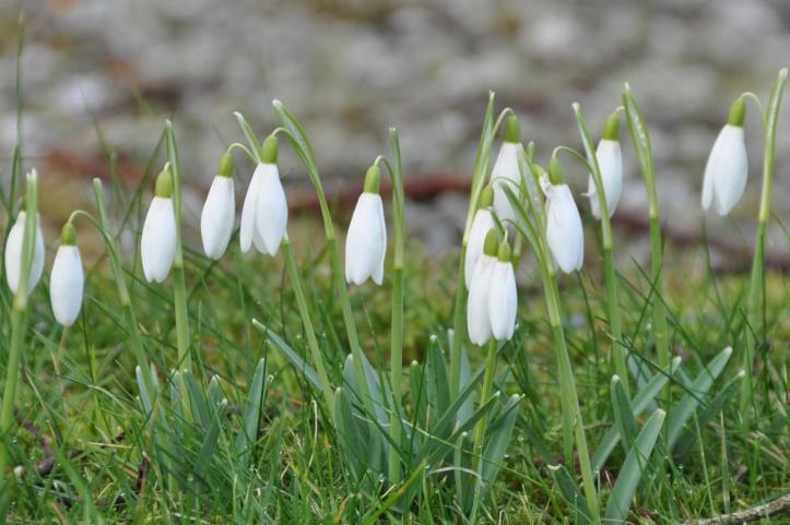 Snowdrops in Ballylesson (1)