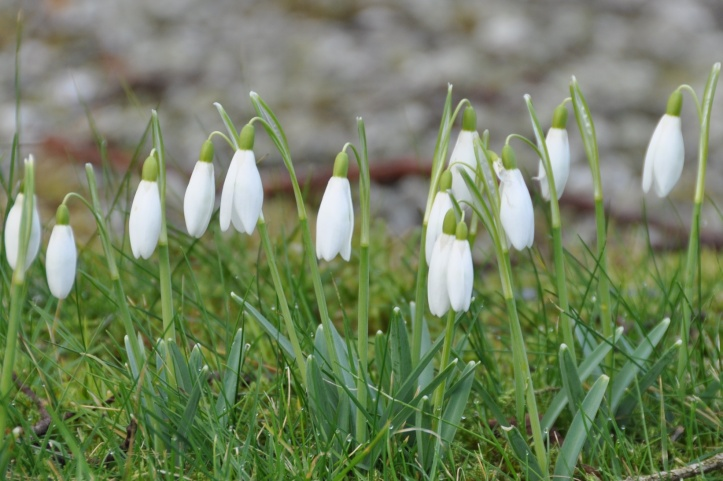Snowdrops in Ballylesson (1)