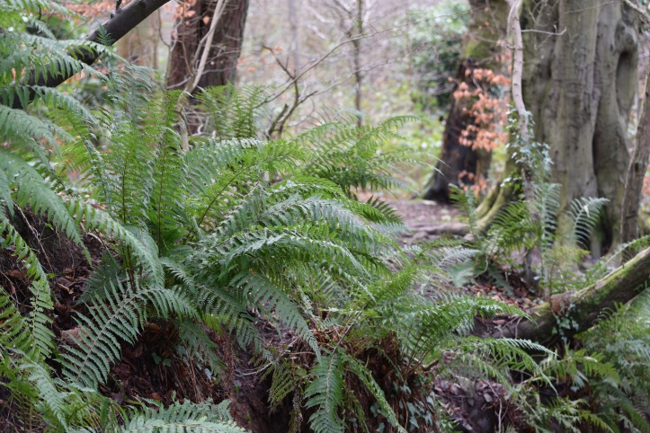 Redburn Country Park ferns