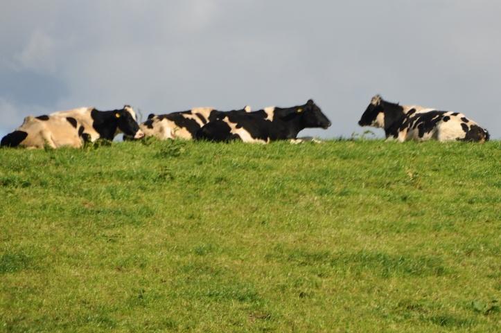 Ballybunden cows