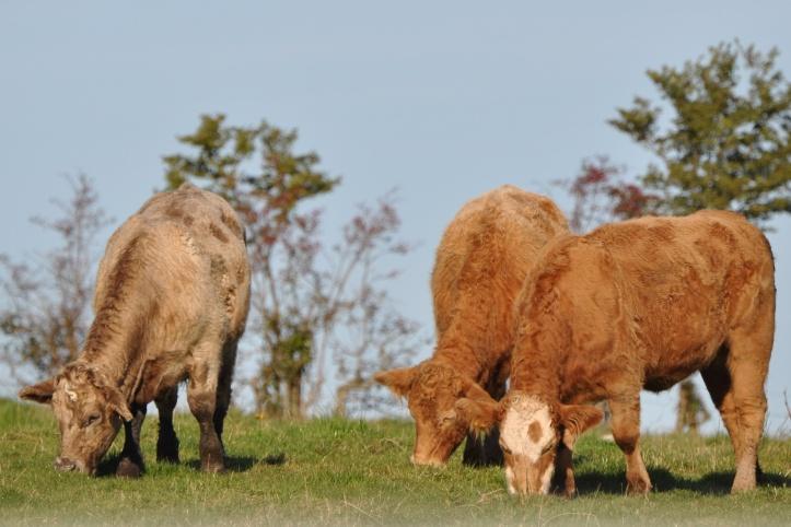 Ballyfrenis cows