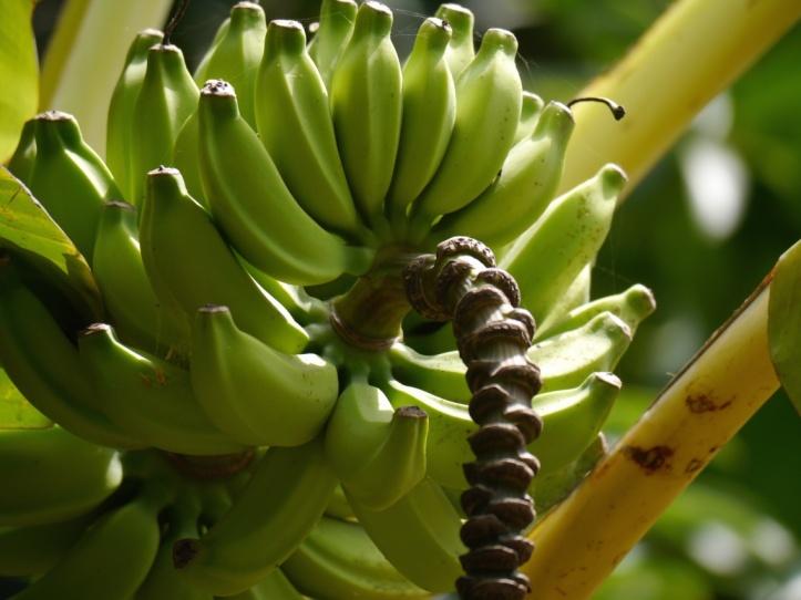 bananas oct13