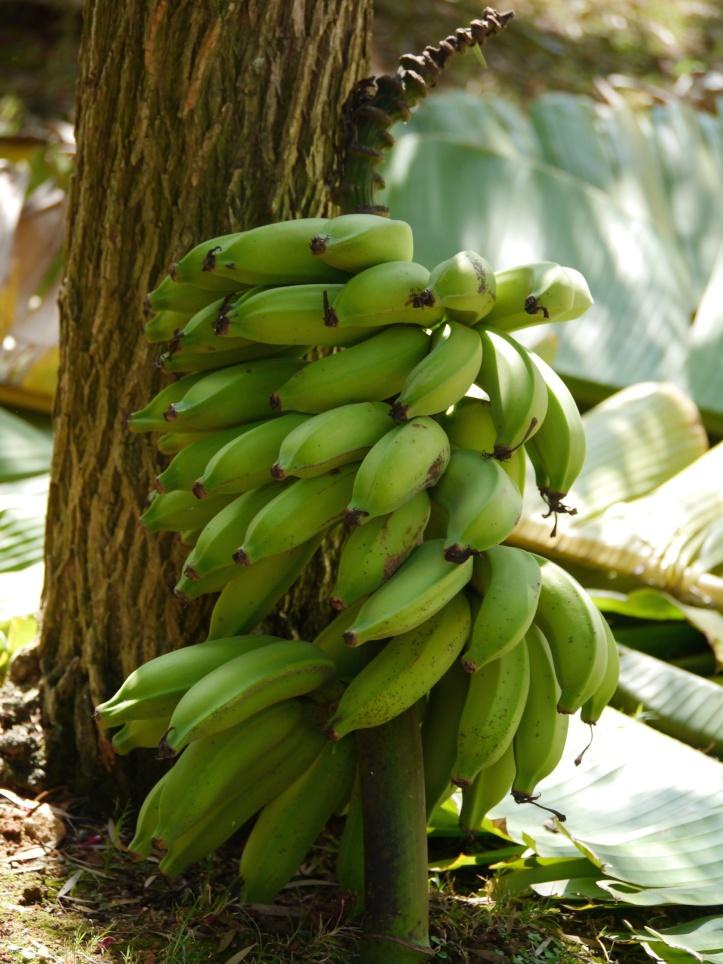 Cut Bananas Jan13 (1)